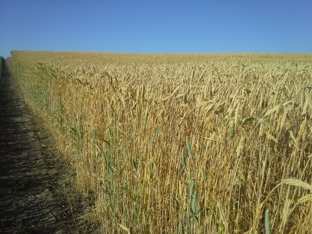 Fx 1001 Triticale Haystack Mountain Fall Triticale Seed