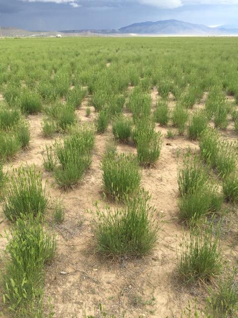 siberian wheatgrass